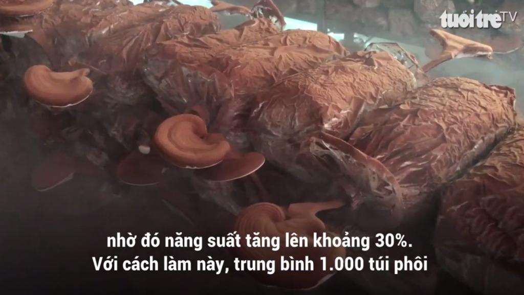 越南灵芝种植5